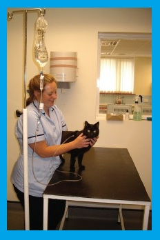 A cat receiving intravenous fluid therapy